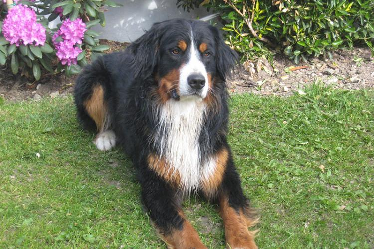 Bernese mountain dog Ingo