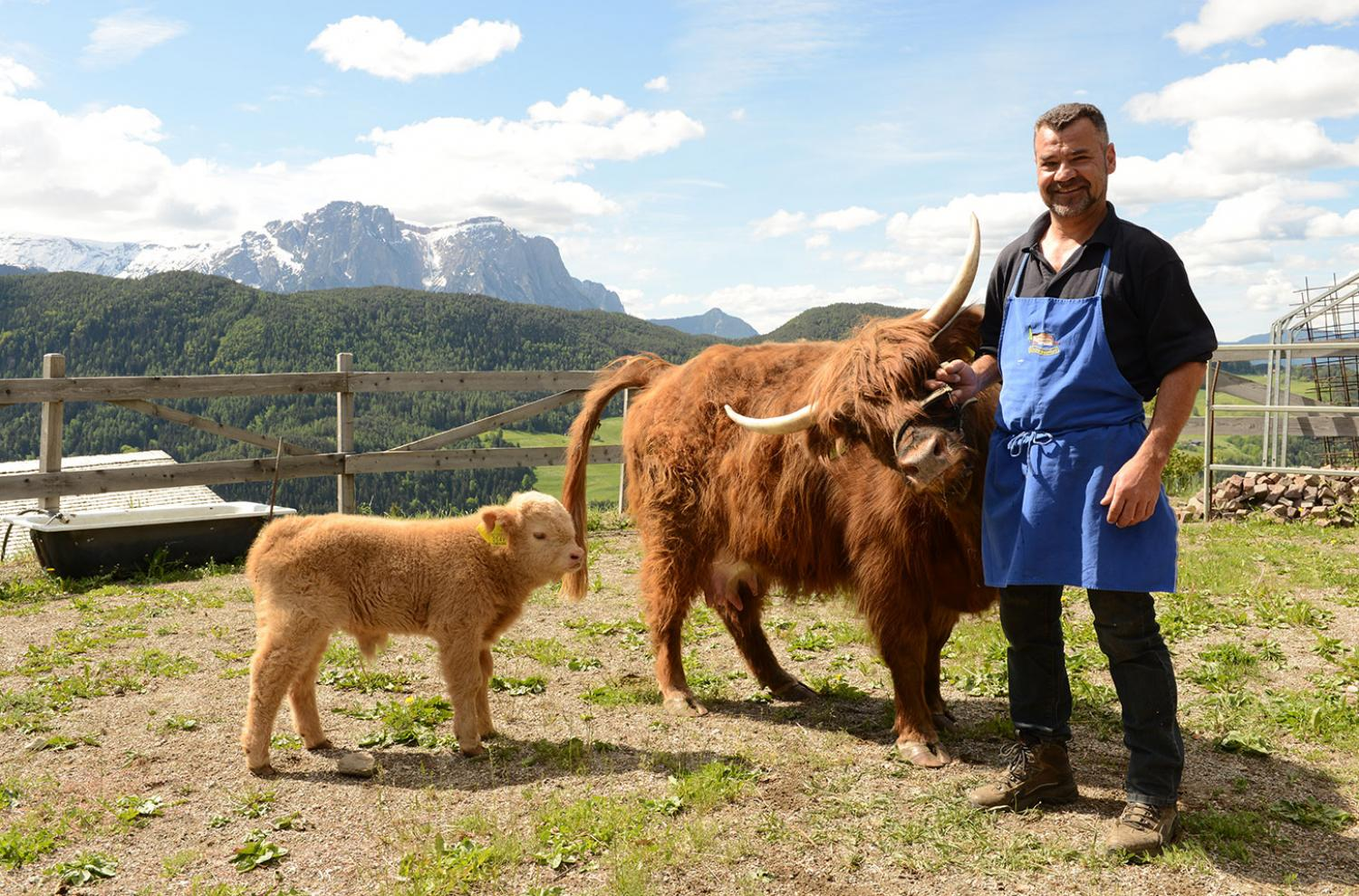 Our scottish Highland cattle